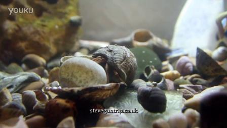 看寄居蟹是怎样搬家的