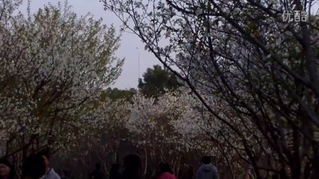 华夏公园赏樱花大团看桃花