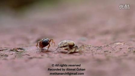蜘蛛捕食蚂蚁,结局简直出人意料