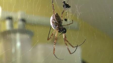 澳大利亚下起蜘蛛雨,蜘蛛随处可见