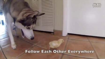 当二哈士奇决定和小鸡仔做朋友 整个世界也是醉