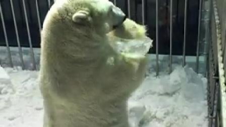 北极熊戴冰手环