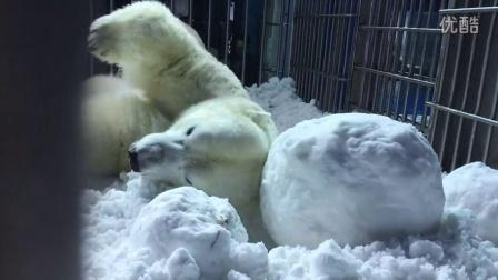 北极熊滚雪球撒欢打滚