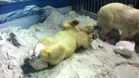 北极熊撒欢打滚