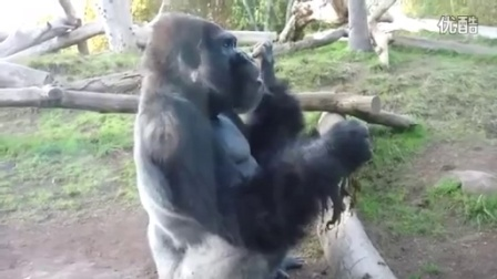 Gorilla Eats_Shares his Own Poop with his Son!