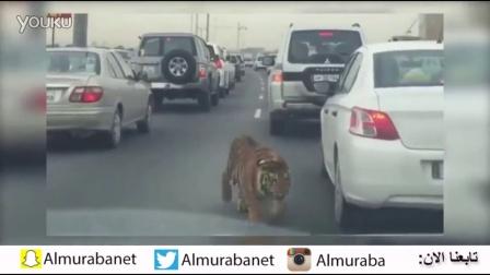 堵车中突然遇见老虎