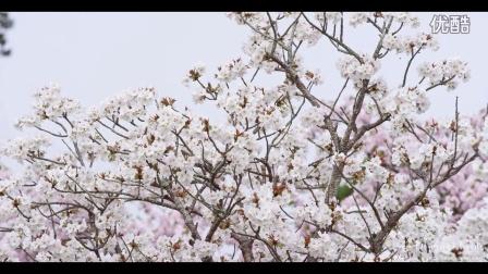 日本唯美的桜 [4K]