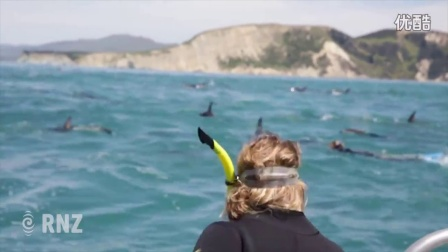凯库拉地震后与海豚共游首次出海发现300只暗色斑纹海豚!