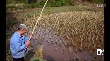 农村大伯挖蚯蚓在水田里钓鱼,收获还不错!