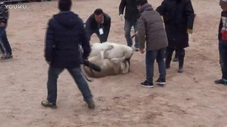 2016年太湖·中亚高狼打斗比赛 乌娜vS露沙