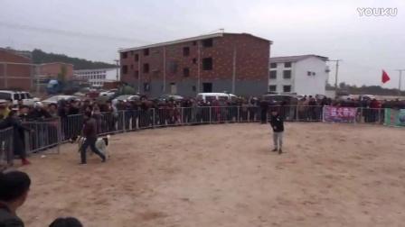2016年太湖·中亚高狼打斗比赛 母狗表演赛