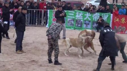 2016年太湖·中亚高狼打斗比赛 啊嘎子VS恰兰