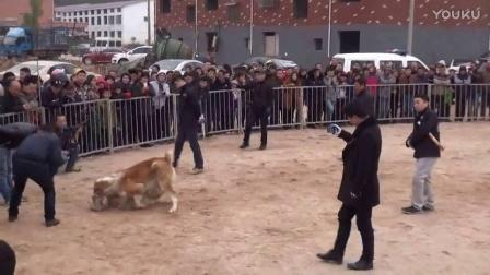2016年太湖·中亚高狼打斗比赛 萌萌VS凯撒