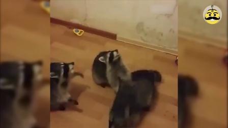 萌宠日报 2017:你这短腿猫要不要这么萌 01