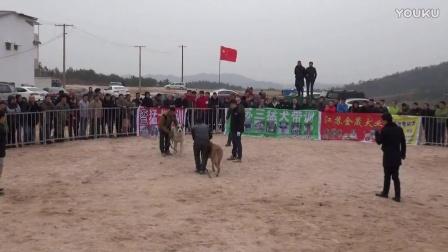2016年太湖·中亚高狼打斗比赛 巴蒂勒vs土匪