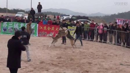 2016年太湖·中亚高狼打斗比赛 冒顿    VS   成吉思汗