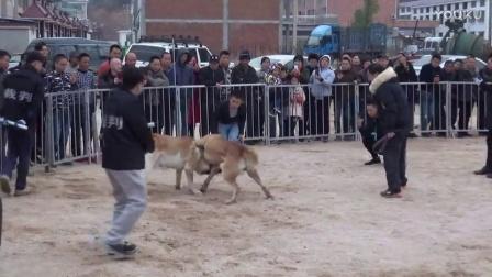 2016年太湖·中亚高狼打斗比赛 阿普塔对马雷士