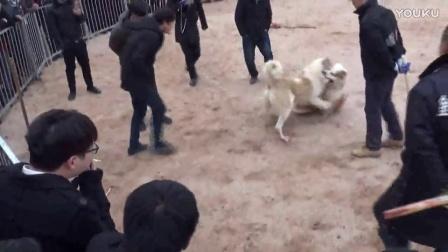 猛犬俱乐部 中亚牧羊犬 高狼犬 闪电VS阿尤撒