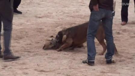 2016年太湖·中亚高狼打斗比赛  比特犬表演赛