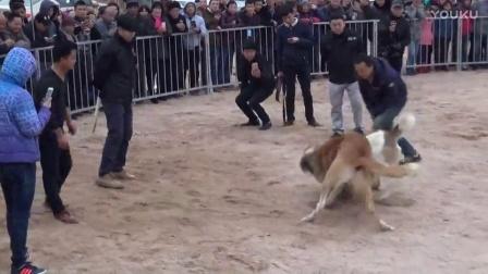 2016年太湖·中亚高狼打斗比赛  巴斯 VS小火腿