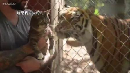 一只叫lil bub的小猫跟着主人去动物园看老虎,然后好像知道了什么