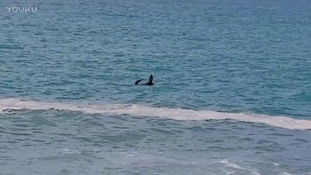 就在刚刚凯库拉观鲸公司门口海面上飘来一只萌物!