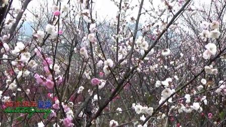 茶山坳田新赏梅-2017正月初二(糊涂铁匠视频)