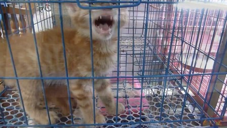 孟加拉豹猫 (玫瑰斑) Bengal leopard cat (Rose spots)