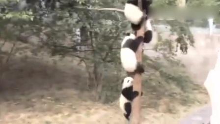 太可爱了,熊猫看见喷水集体上树,还有一个被挤下来了