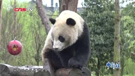 """好莱坞大师现身成都看大熊猫 秒变""""迷弟"""""""
