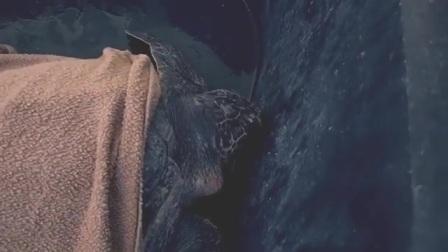 马尔代夫库达呼拉岛四季度假酒店解救海龟Pumpin后,将它放归大海
