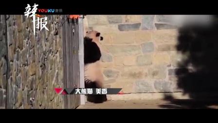 大熊猫骨肉分离疯狂抓墙 哀嚎焦急找宝宝看哭网友