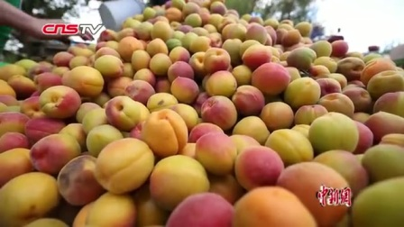 新疆托克逊5万亩杏树丰收 客商收购忙