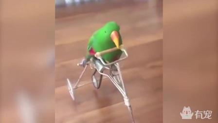 会骑自行车的鹦鹉