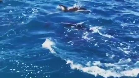 新西兰凯库拉罕见暗色斑纹海豚捕食视频