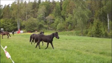 主人给自己家黑马寻找伴侣, 看见母马的黑马主人都按不住