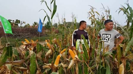 菌修灵在查日苏镇玉米田的表现201609