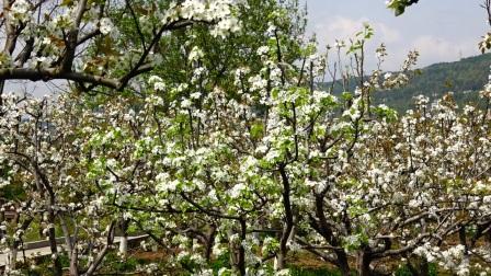 盛开的梨花--苍溪梨博园--20180321 720p --51分08秒