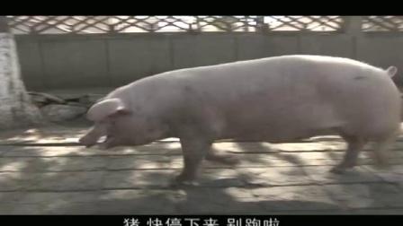 漂亮女兵不敢杀猪 领导战友一直催她动手 不料猪被她吓跑了