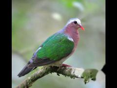 野外录制:绿翅金鸠叫声,绿斑鸠叫声,音乐欣赏。
