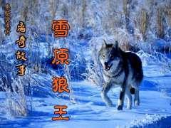 离奇故事《雪原狼王》01