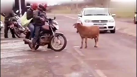 搞笑动物配音:别惹我,我叫羊羔疯