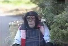 【搞笑视频】狒狒小庞带詹姆斯去农场采栗子,