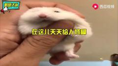 搞笑动物配音仓鼠也去修脚最后还非要加钟,笑