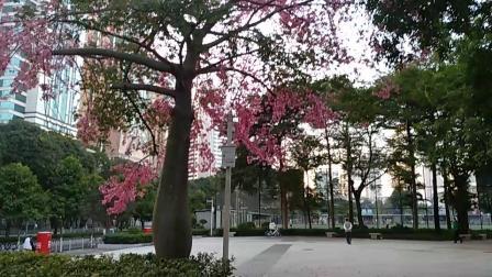 广州市天河区体育东路体育中心广场上的异木棉