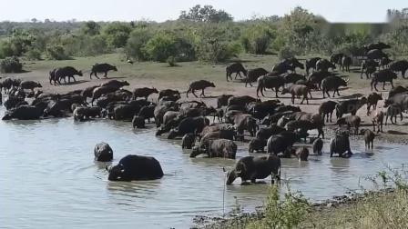 动物世界 平头哥攻击野狗和狮子