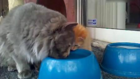 搞笑动物!猫妈妈教小猫咪喝水,还不时...