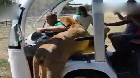 狮子爬上游客的车,对待女游客十分温柔,真正