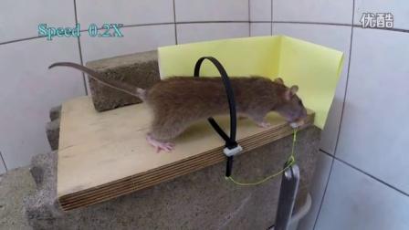 外国人发明的抓老鼠利器,老鼠偷吃直接勒住脖子!