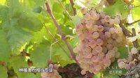坎帕尼亚的葡萄酒 17